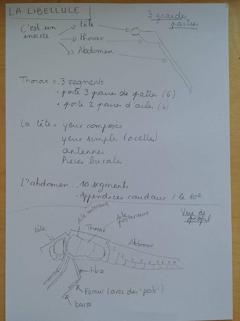 planche croquis libellule (3)