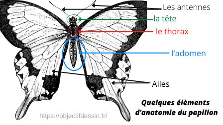 Dessin Facile Papillon Corps Anatomie