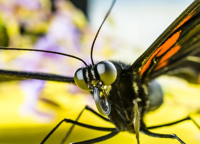 Papillon Trompe